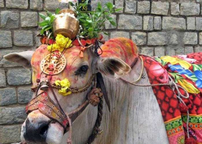 A decorated cow
