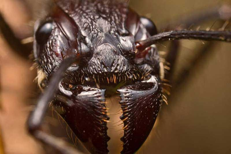 The magnified head of a bullet ant