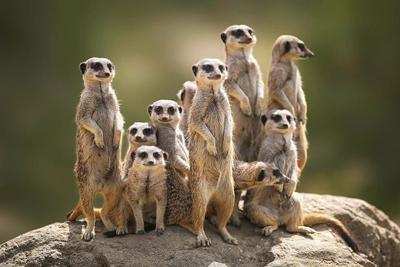 Meerkat Strange Animals