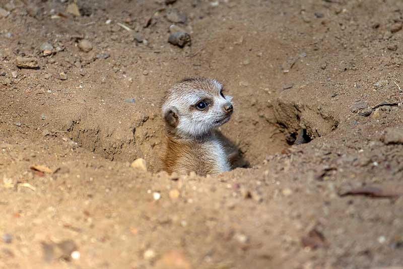 A meerkat baby peeks its head out of a burrow