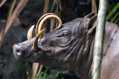 Babirusa Strange Animals