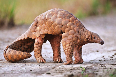 Pangolin Strange Animals