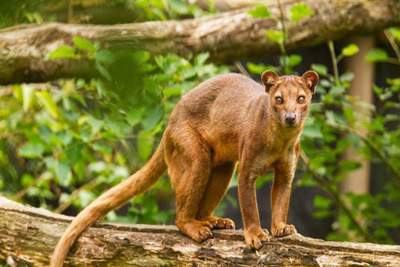 Fossa Animals