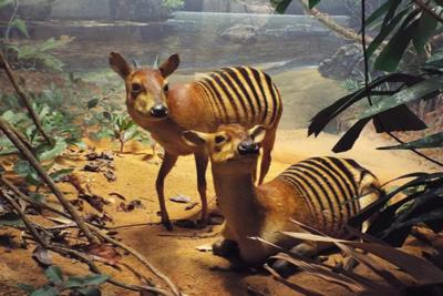 Zebra Duiker Animals
