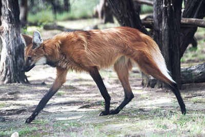 Maned Wolf Animals
