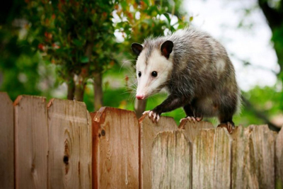 Opossum Animals