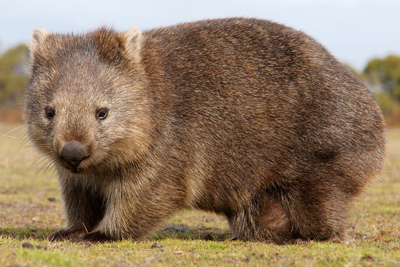 Wombat Animals