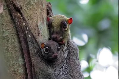 Colugo Animals
