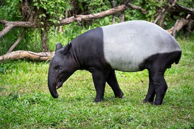 Tapir Animals