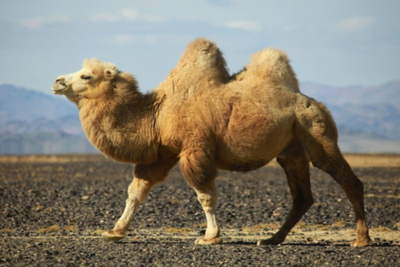 Bactrian Camel Animals
