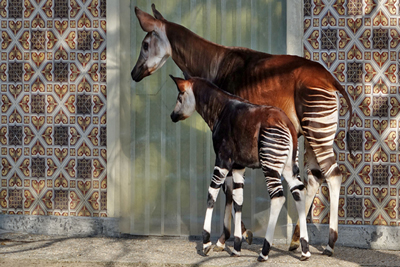 Okapi Animals