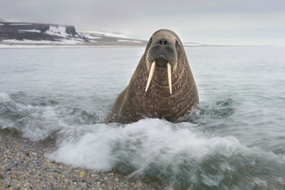 Walrus Strange Animals
