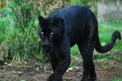 Black Panther Animals