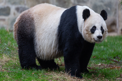 Giant Panda Animals