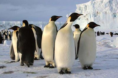 Penguin Flightless Birds