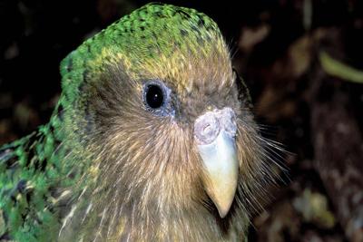 Kakapo Flightless Birds